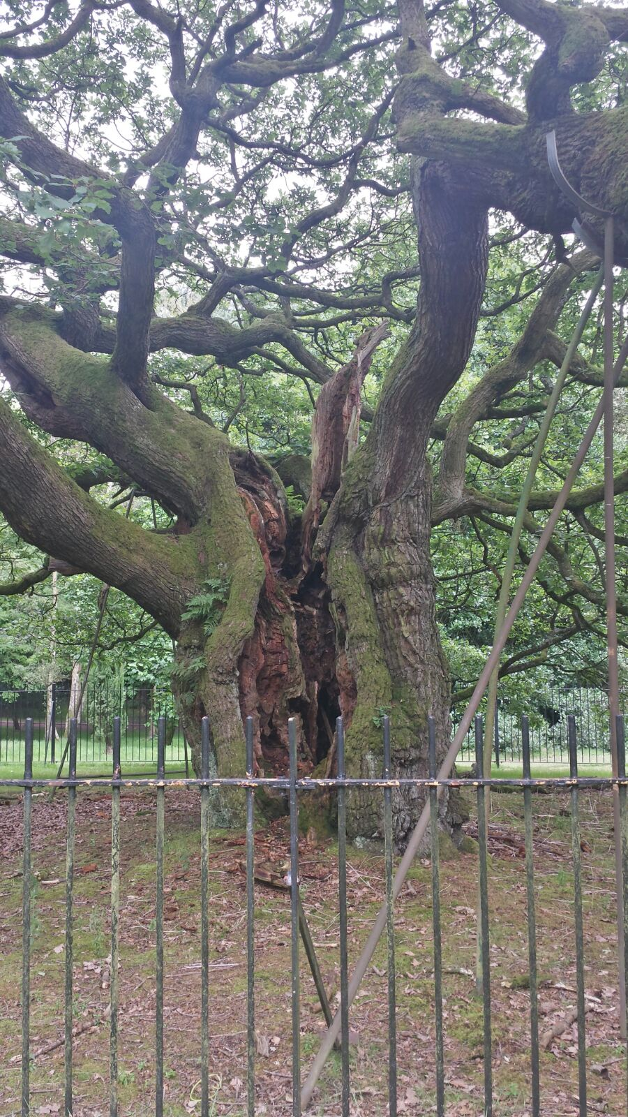 BOROUGH CURIOS: THE ALLERTON OAK